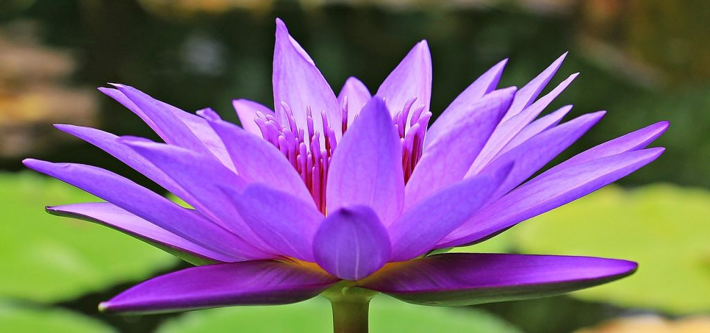 water-lily-1585178_1280